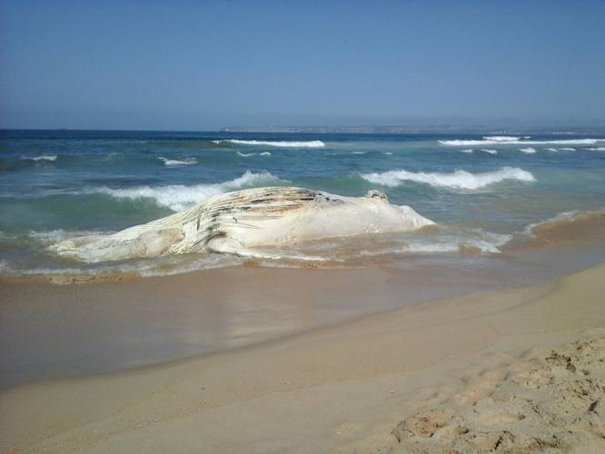 The whale carcass on the beach at Kleinkrantz - picture supplied.
